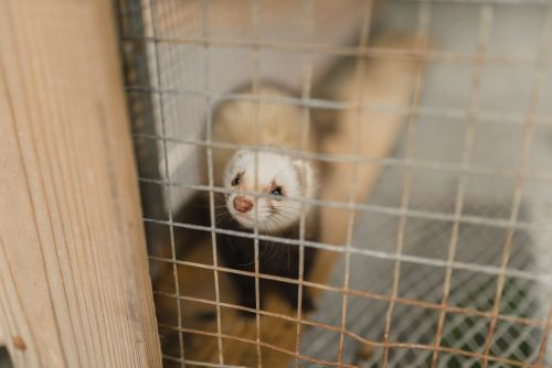 Scientists Cloned a Ferret – What's Next?